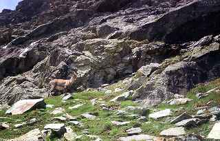 Ibex in its natural environment