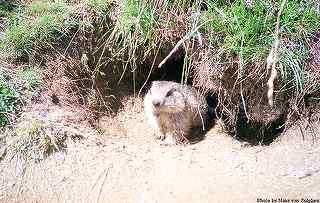 Photos of murmeltiere (mountain marmots)